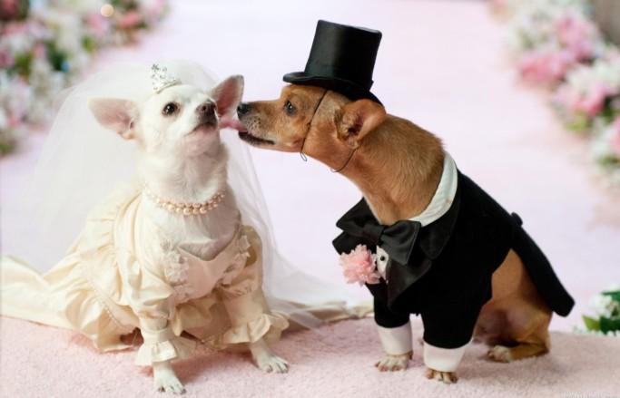 собаки в свадебных костюмах